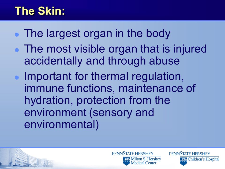 The Skin: l The largest organ in the body l The most visible organ that is injured accidentally and through abuse l Important for thermal regulation,