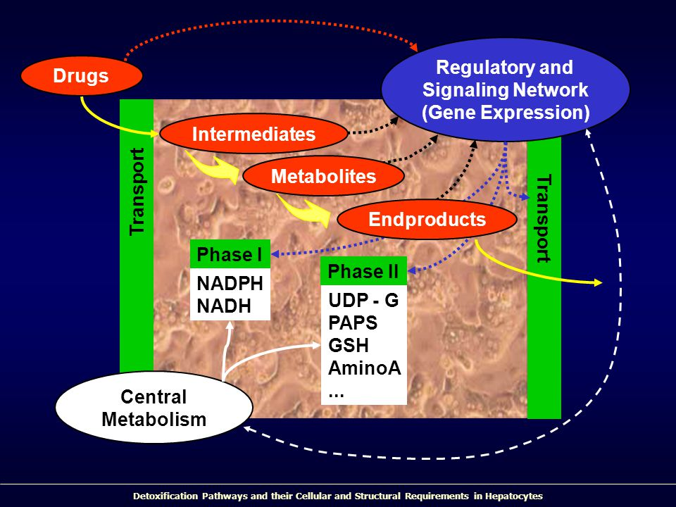Detoxification Pathways and their Cellular and Structural Requirements in Hepatocytes Transport Drugs Phase II UDP - G PAPS GSH AminoA... Central Meta