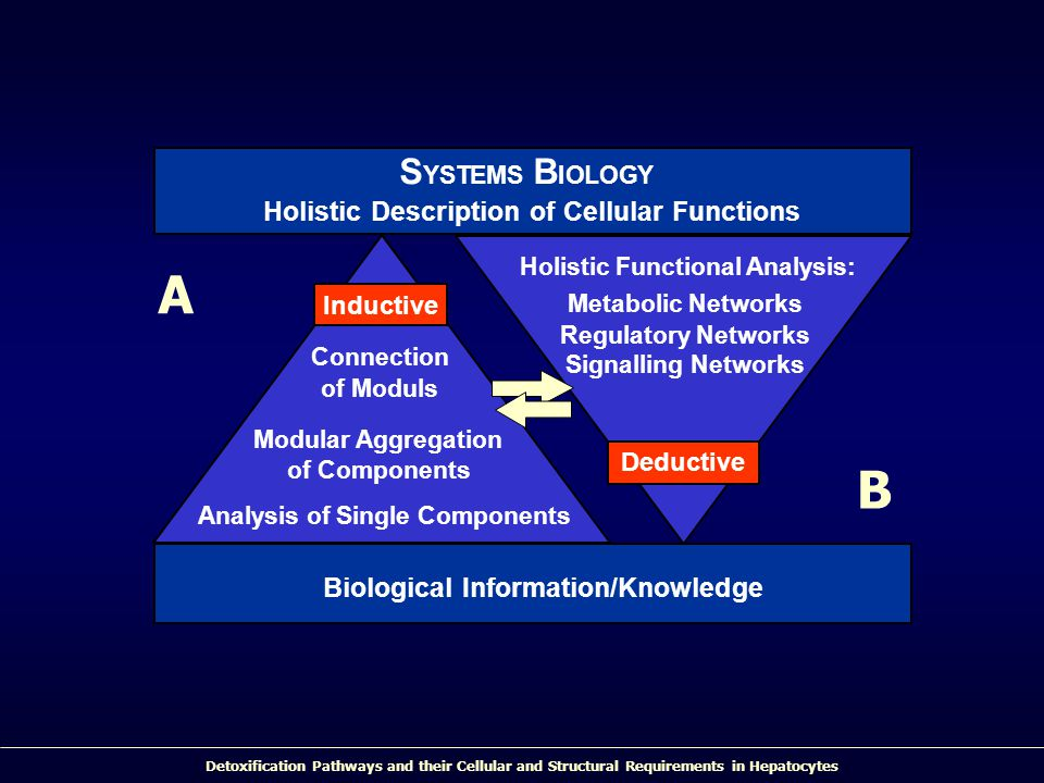 Detoxification Pathways and their Cellular and Structural Requirements in Hepatocytes S YSTEMS B IOLOGY Holistic Description of Cellular Functions Connection of Moduls Modular Aggregation of Components Analysis of Single Components Holistic Functional Analysis: Metabolic Networks Regulatory Networks Signalling Networks Biological Information/Knowledge Deductive Inductive A B