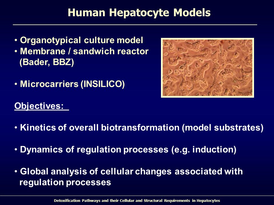Detoxification Pathways and their Cellular and Structural Requirements in Hepatocytes Organotypical culture model Membrane / sandwich reactor (Bader, BBZ) Microcarriers (INSILICO) Objectives: Kinetics of overall biotransformation (model substrates) Dynamics of regulation processes (e.g.