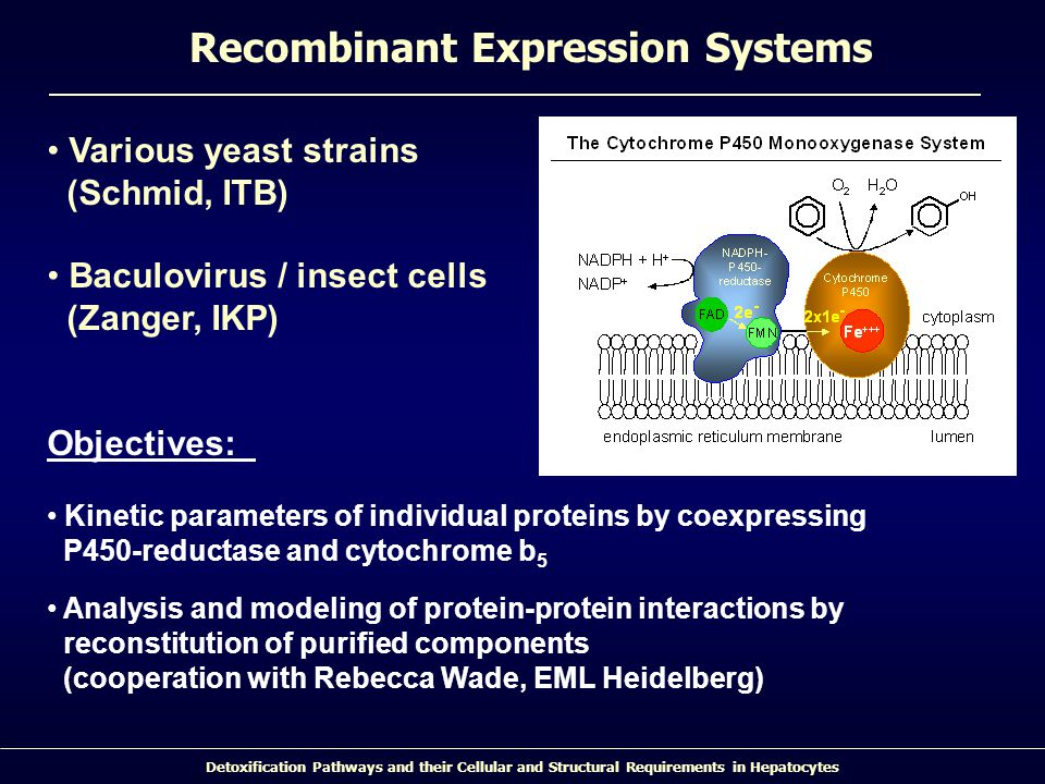 Detoxification Pathways and their Cellular and Structural Requirements in Hepatocytes Recombinant Expression Systems Various yeast strains (Schmid, ITB) Baculovirus / insect cells (Zanger, IKP) Objectives: Kinetic parameters of individual proteins by coexpressing P450-reductase and cytochrome b 5 Analysis and modeling of protein-protein interactions by reconstitution of purified components (cooperation with Rebecca Wade, EML Heidelberg)