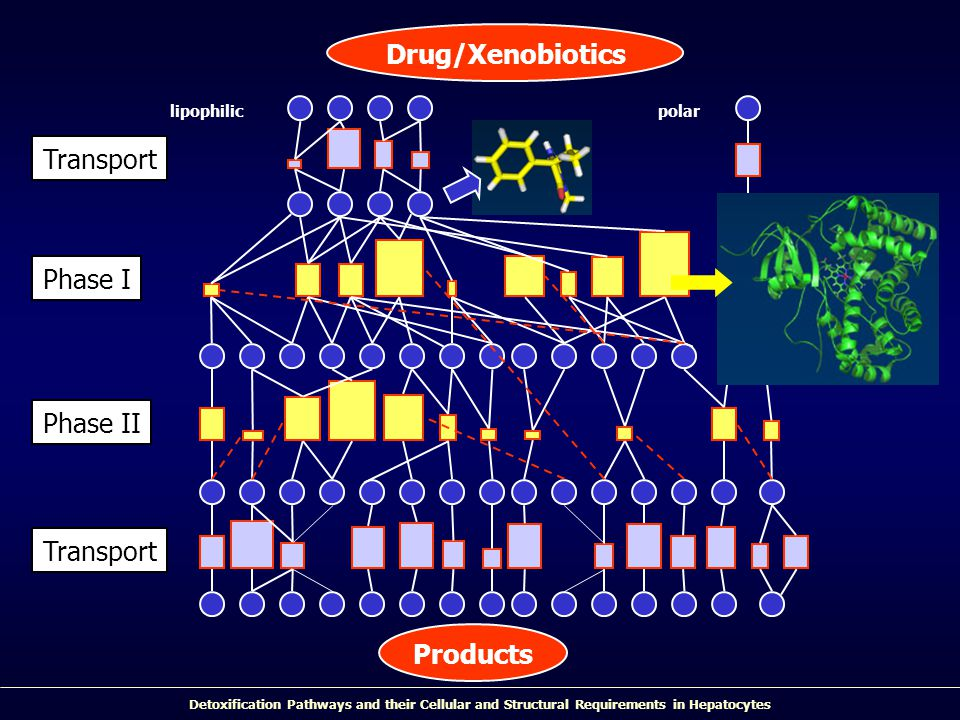 Detoxification Pathways and their Cellular and Structural Requirements in Hepatocytes Drug/Xenobiotics Phase I Phase II lipophilicpolar Transport Prod