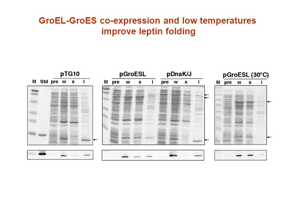 GroEL-GroES co-expression and low temperatures improve leptin folding