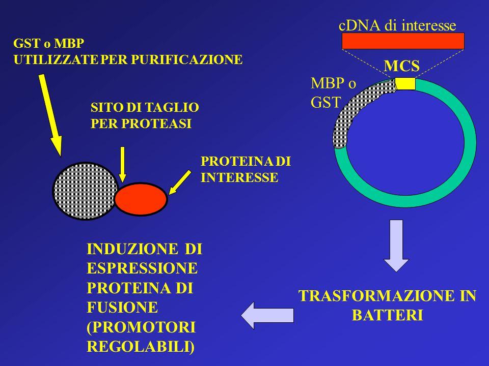 MCS cDNA di interesse MBP o GST TRASFORMAZIONE IN BATTERI INDUZIONE DI ESPRESSIONE PROTEINA DI FUSIONE (PROMOTORI REGOLABILI) SITO DI TAGLIO PER PROTEASI GST o MBP UTILIZZATE PER PURIFICAZIONE PROTEINA DI INTERESSE