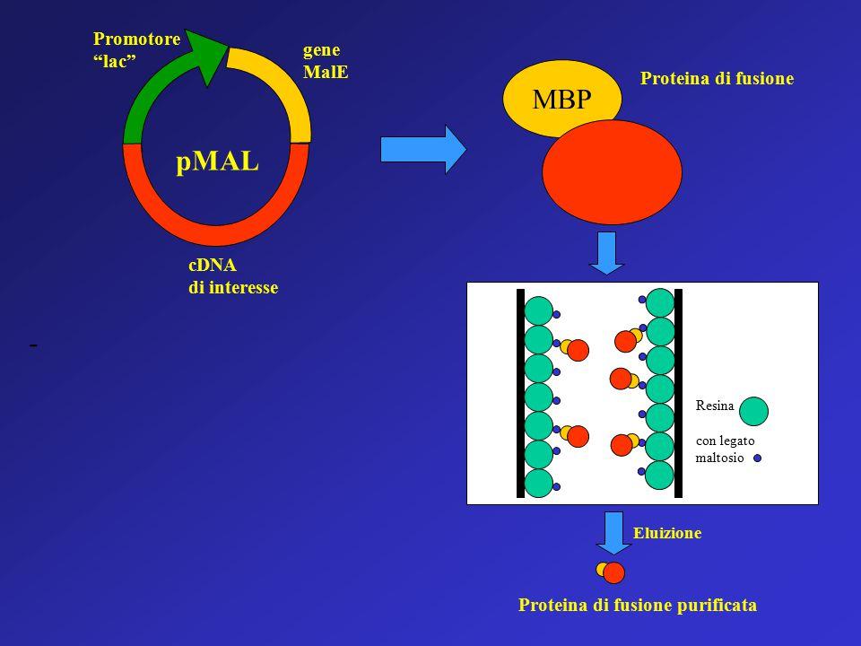 MBP Proteina di fusione Proteina di fusione purificata Eluizione Resina con legato maltosio gene MalE cDNA di interesse Promotore lac pMAL -