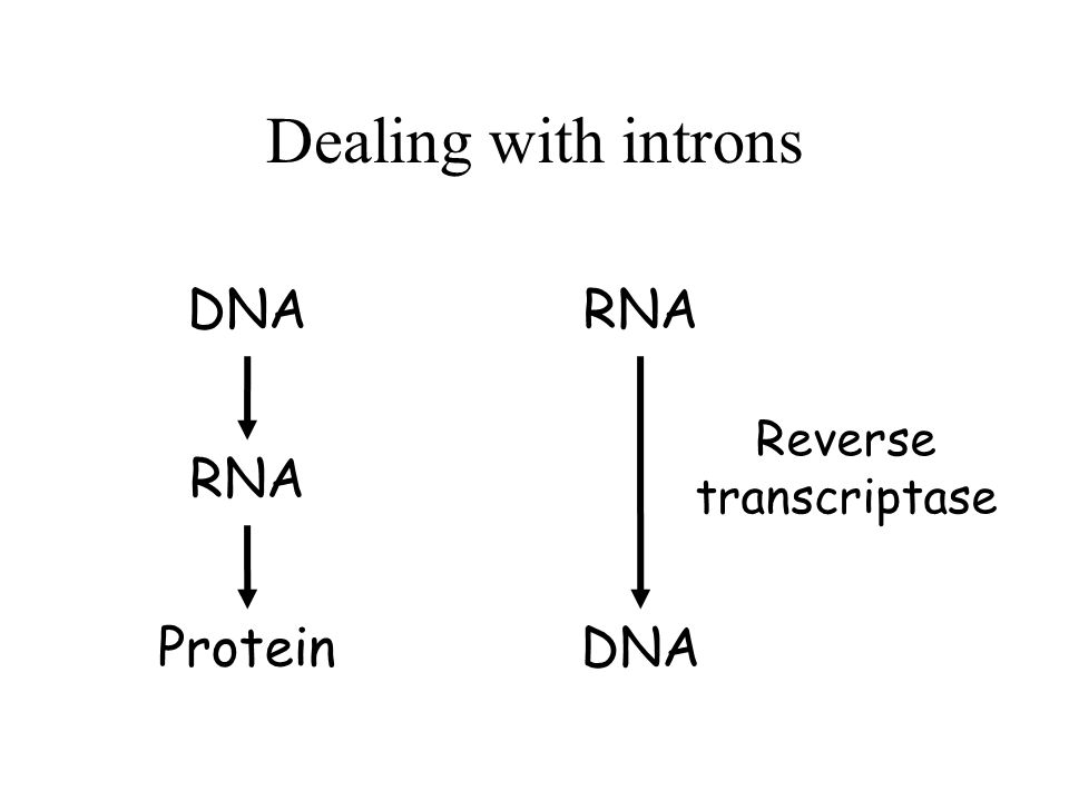 Dealing with introns DNA RNA Protein RNA DNA Reverse transcriptase