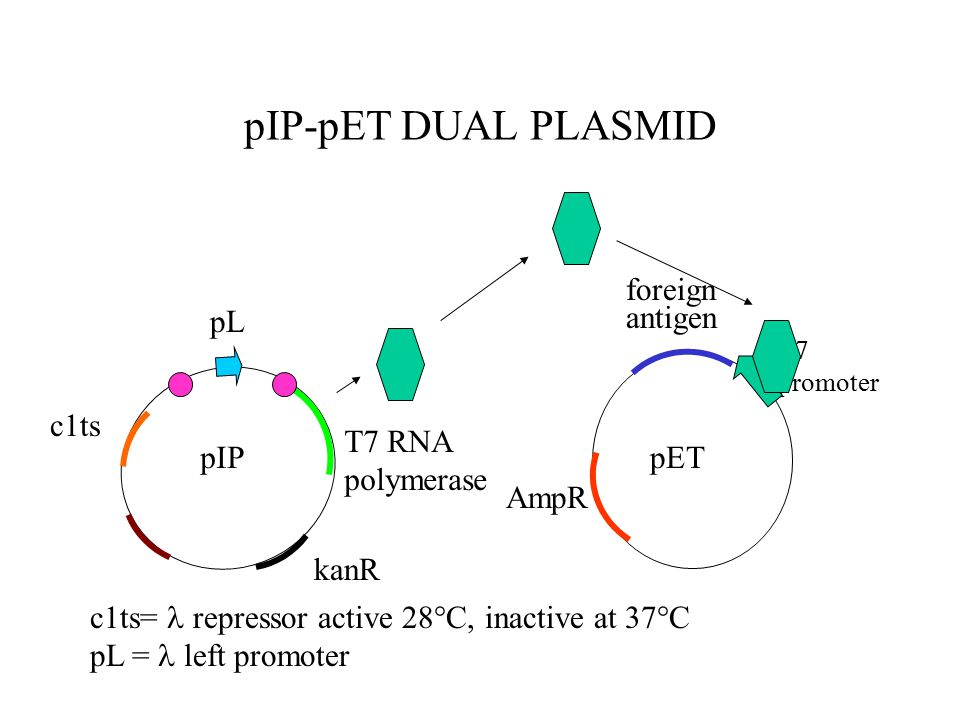 pIP-pET DUAL PLASMID T7 promoter pET foreign antigen AmpR pIP T7 RNA polymerase c1ts= repressor active 28°C, inactive at 37°C pL = left promoter c1ts pL kanR