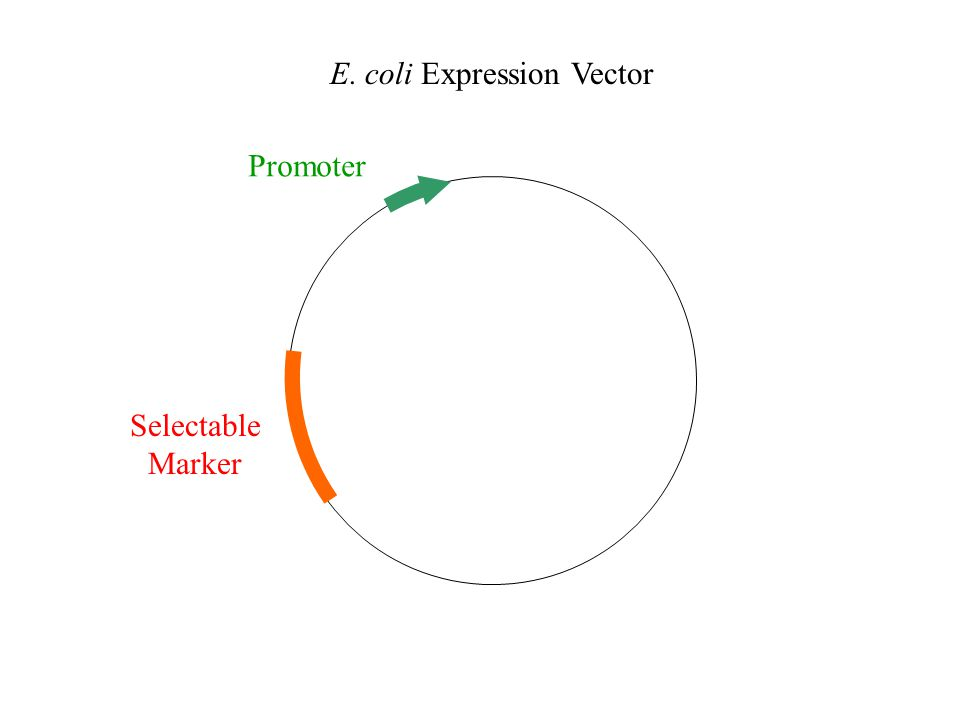 E. coli Expression Vector Selectable Marker Promoter