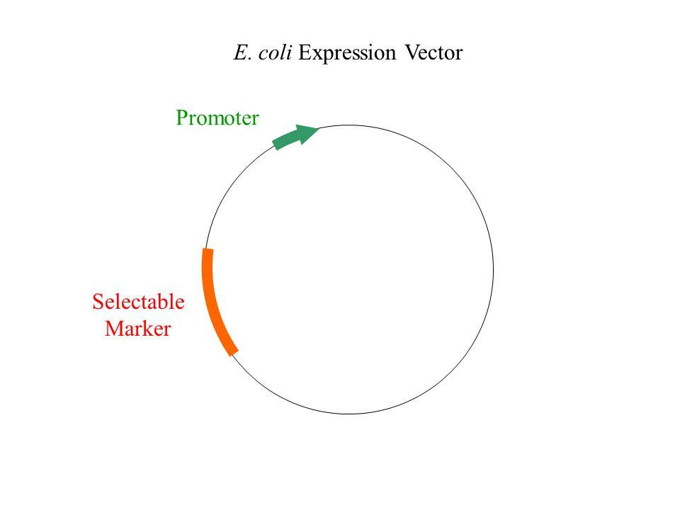 E. coli Promoters