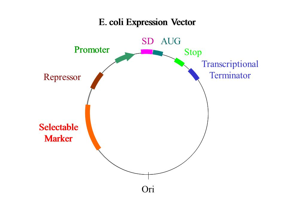 HEK.EBNA Expression Vectors Basic vector (also Gateway™ adapted) Can be decorated with N- or C-terminal tags, heterologous leader sequences Co-expression of e.g.