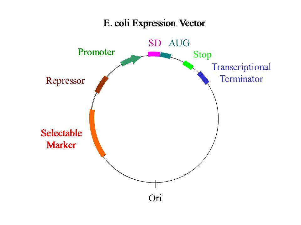 E. coli Expression Vector Selectable Marker Promoter Repressor E.