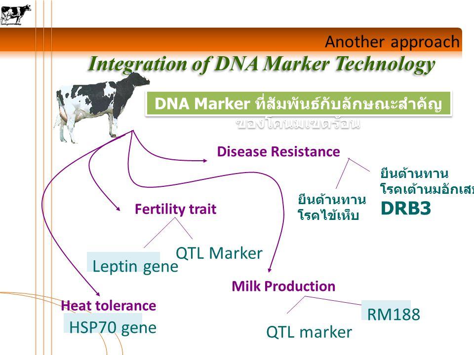 Another approach Integration of DNA Marker Technology DNA Marker ที่สัมพันธ์กับลักษณะสำคัญ ของโคนมเขตร้อน Disease Resistance Fertility trait Milk Production ยีนต้านทาน โรคเต้านมอักเสบ DRB3 ยีนต้านทาน โรคไข้เห็บ QTL Marker Leptin gene Heat tolerance HSP70 gene QTL marker RM188