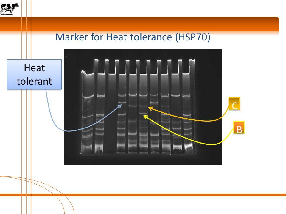 Marker for Heat tolerance (HSP70) B B C C A A Heat tolerant