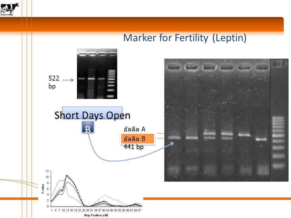 Marker for Fertility (Leptin) 1 522 bp อัลลีล A 522 bp อัลลีล B 441 bp B B Short Days Open