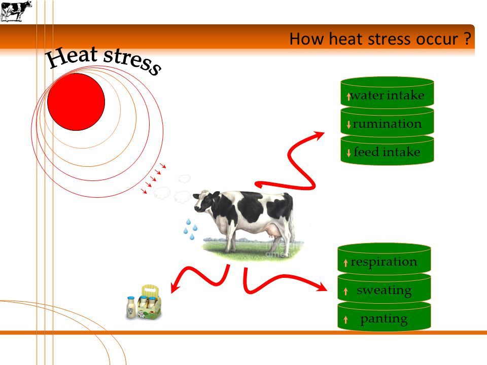 How heat stress occur ? pantingsweatingrespirationfeed intakeruminationwater intake
