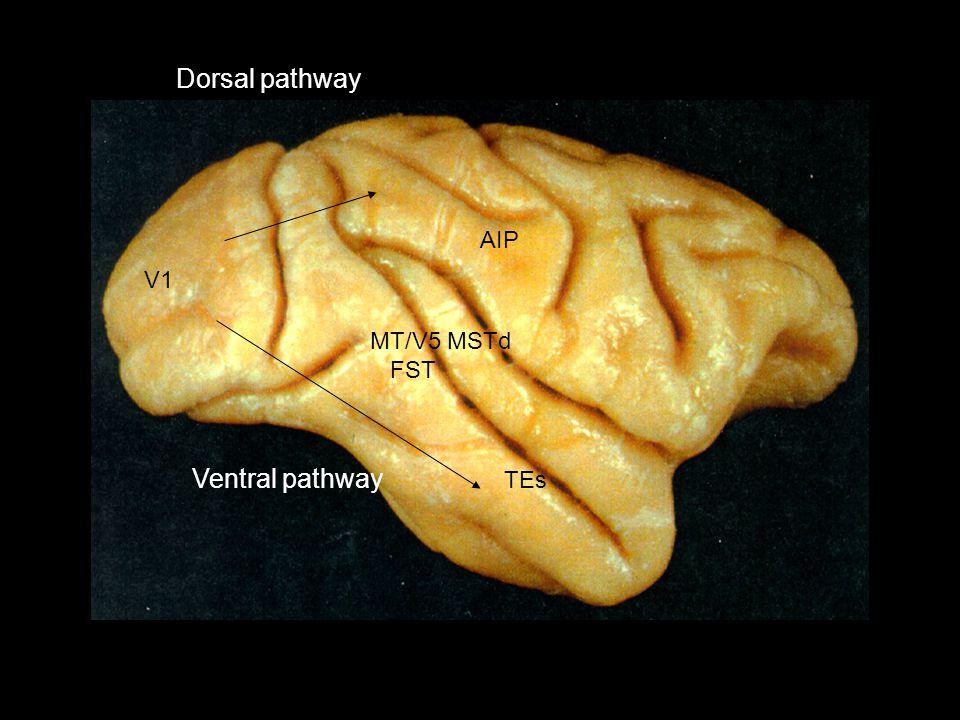 AIP MT/V5 MSTd FST TEs Dorsal pathway Ventral pathway V1