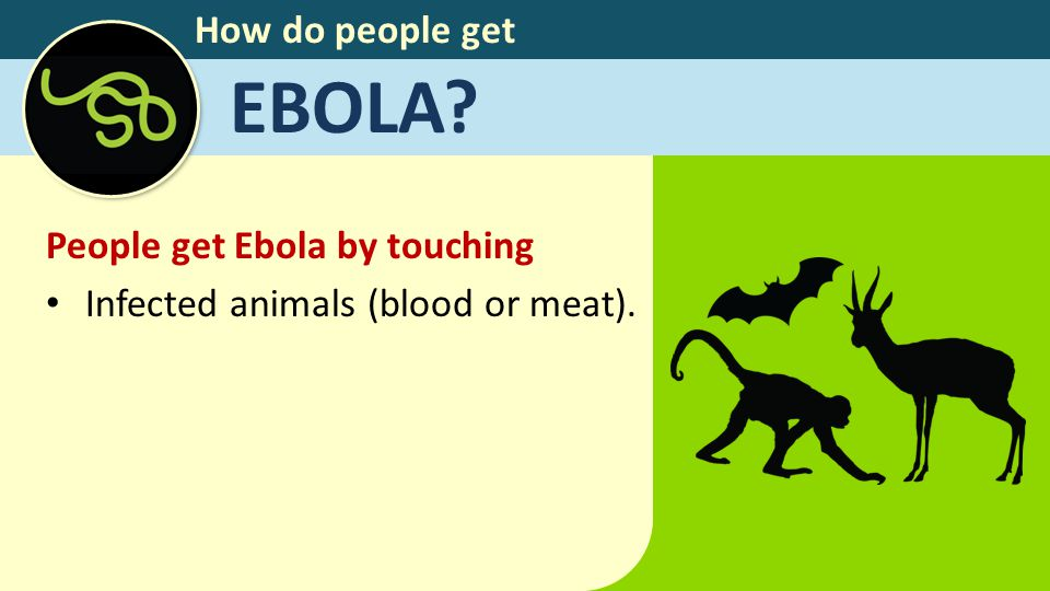 How do people get EBOLA? People get Ebola by touching Infected animals (blood or meat).