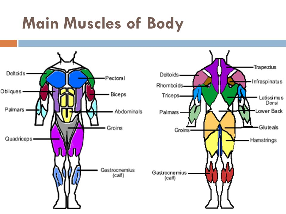 Main Muscles of Body
