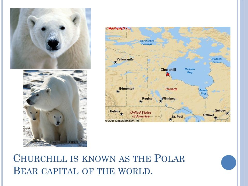 C HURCHILL IS KNOWN AS THE P OLAR B EAR CAPITAL OF THE WORLD.