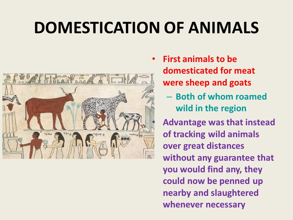 DOMESTICATION OF ANIMALS First animals to be domesticated for meat were sheep and goats – Both of whom roamed wild in the region Advantage was that instead of tracking wild animals over great distances without any guarantee that you would find any, they could now be penned up nearby and slaughtered whenever necessary