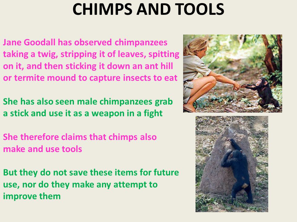 CHIMPS AND TOOLS Jane Goodall has observed chimpanzees taking a twig, stripping it of leaves, spitting on it, and then sticking it down an ant hill or termite mound to capture insects to eat She has also seen male chimpanzees grab a stick and use it as a weapon in a fight She therefore claims that chimps also make and use tools But they do not save these items for future use, nor do they make any attempt to improve them