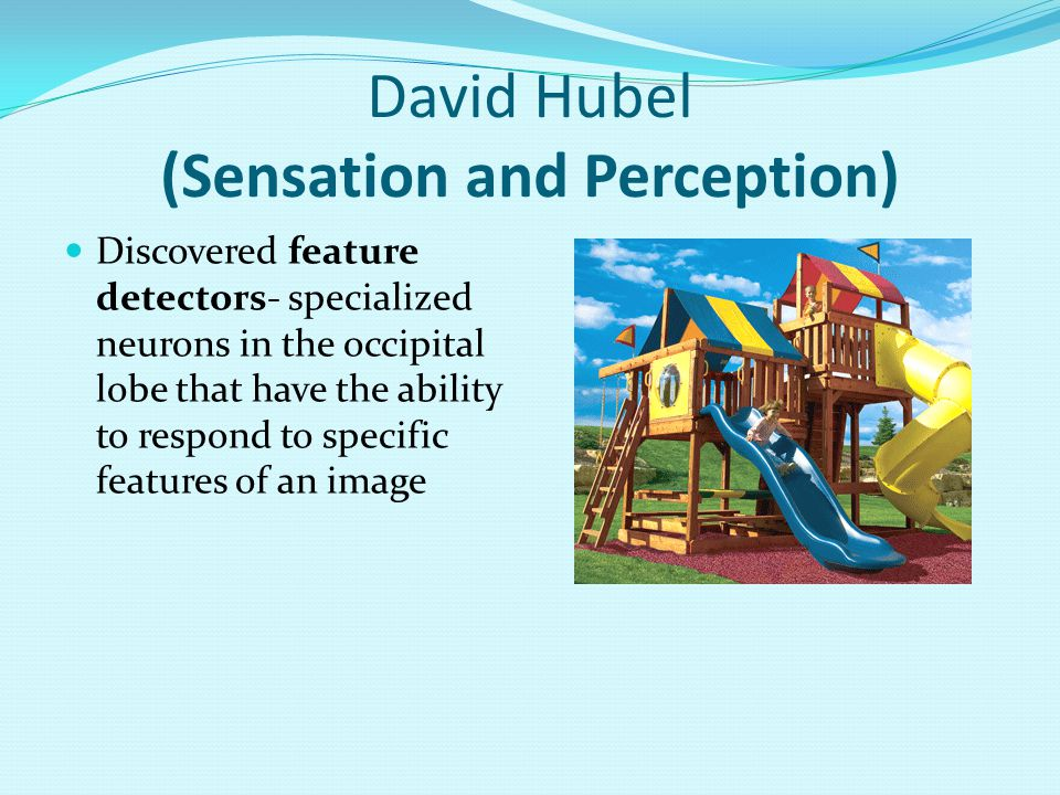David Hubel (Sensation and Perception) Discovered feature detectors- specialized neurons in the occipital lobe that have the ability to respond to specific features of an image