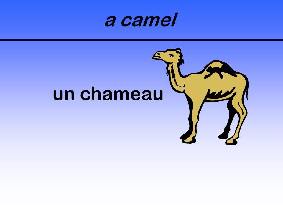 a camel un chameau