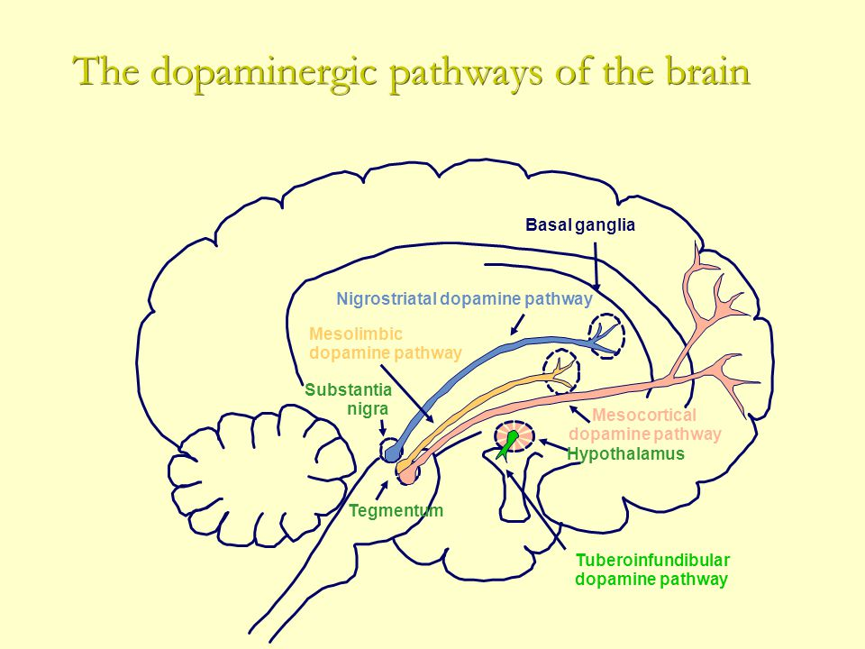 The dopaminergic pathways of the brain Mesocortical dopamine pathway Basal ganglia Tuberoinfundibular dopamine pathway Tegmentum Substantia nigra Mesolimbic dopamine pathway Nigrostriatal dopamine pathway Hypothalamus