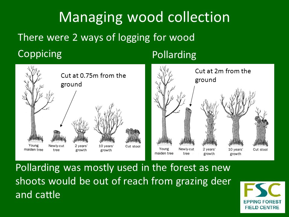 Managing wood collection There were 2 ways of logging for wood Coppicing Pollarding Pollarding was mostly used in the forest as new shoots would be out of reach from grazing deer and cattle Cut at 2m from the ground Cut at 0.75m from the ground