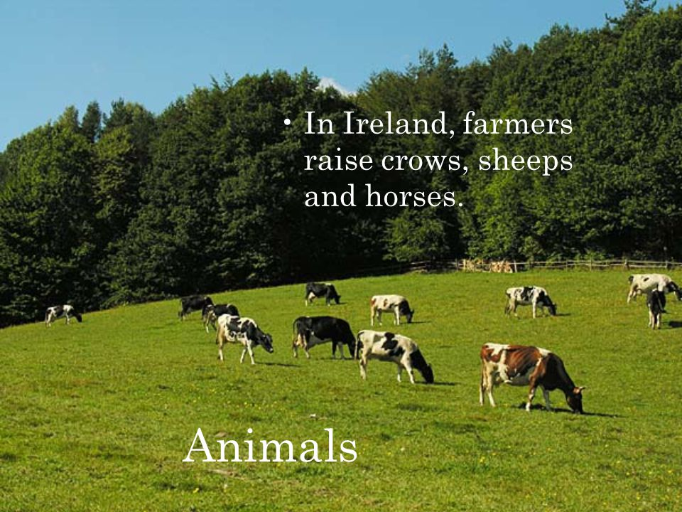 Animals In Ireland, farmers raise crows, sheeps and horses.