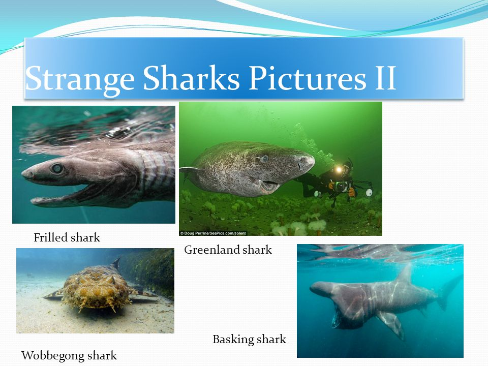 Strange sharks pictures Megamouth shark Goblin shark Bluntnose sixgill shark Cookiecutter shark
