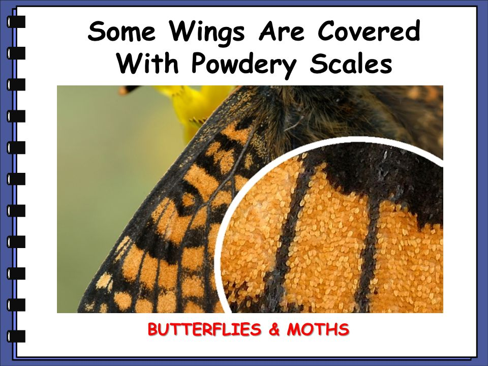 Some Wings Are Covered With Powdery Scales BUTTERFLIES & MOTHS