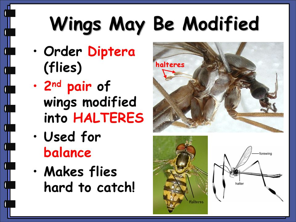 Wings May Be Modified Order Diptera (flies) 2 nd pair of wings modified into HALTERES Used for balance Makes flies hard to catch!