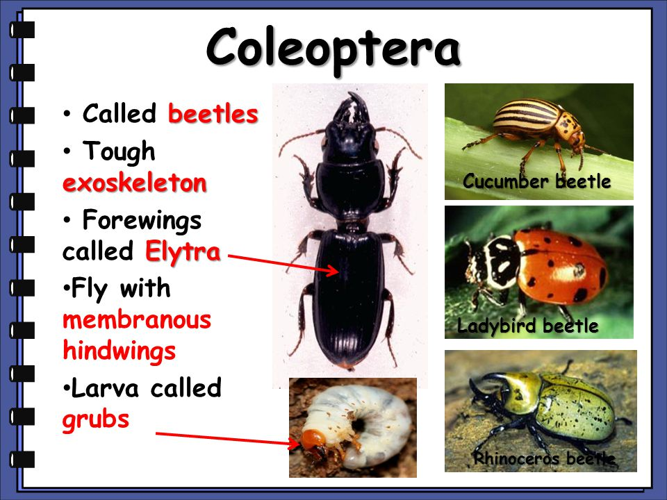 Coleoptera beetles Called beetles exoskeleton Tough exoskeleton Elytra Forewings called Elytra Fly with membranous hindwings Larva called grubs Rhinoceros beetle Cucumber beetle Ladybird beetle