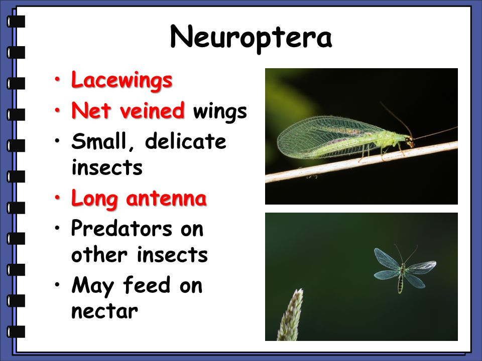 Neuroptera LacewingsLacewings Net veinedNet veined wings Small, delicate insects Long antennaLong antenna Predators on other insects May feed on nectar