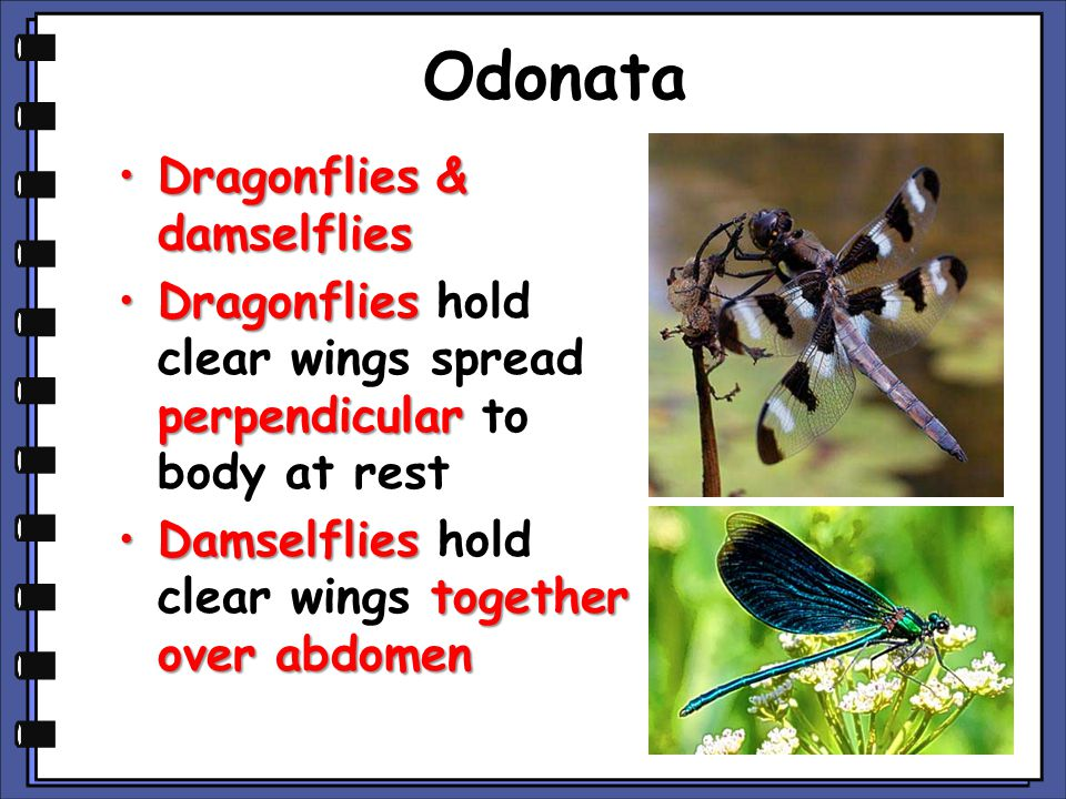 Odonata Dragonflies & damselfliesDragonflies & damselflies Dragonflies perpendicularDragonflies hold clear wings spread perpendicular to body at rest Damselflies together over abdomenDamselflies hold clear wings together over abdomen