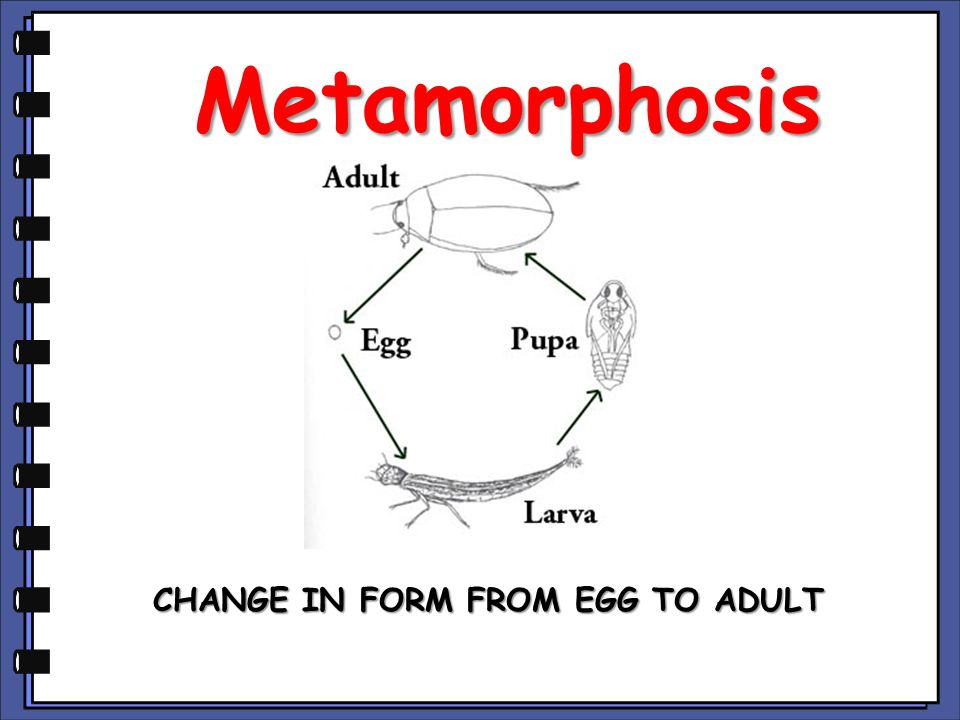 Metamorphosis CHANGE IN FORM FROM EGG TO ADULT