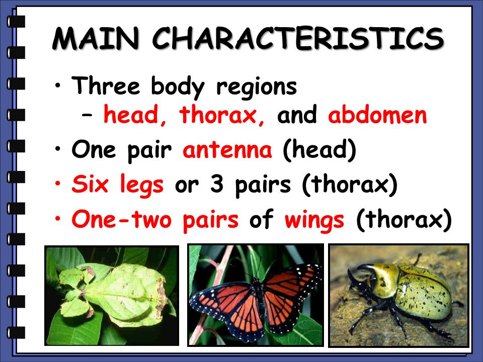 MAIN CHARACTERISTICS Three body regions – head, thorax, and abdomen One pair antenna (head) Six legs or 3 pairs (thorax) One-two pairs of wings (thorax)