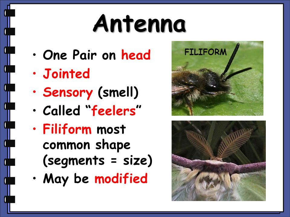 Antenna One Pair on head Jointed Sensory (smell) Called feelers Filiform most common shape (segments = size) May be modified FILIFORM