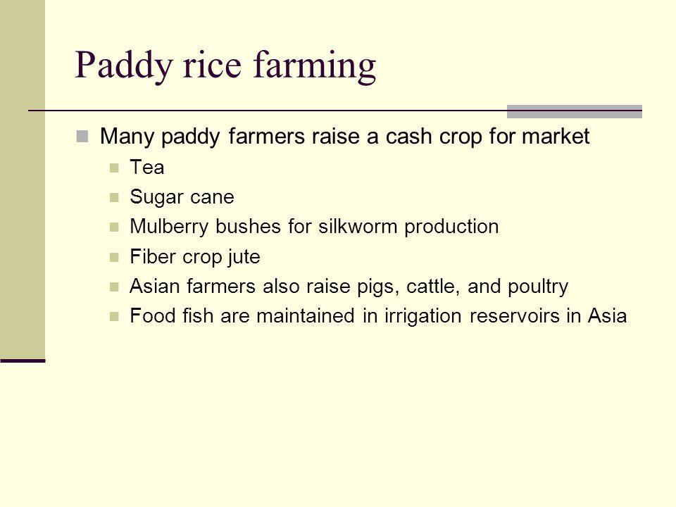 Paddy rice farming Many paddy farmers raise a cash crop for market Tea Sugar cane Mulberry bushes for silkworm production Fiber crop jute Asian farmer