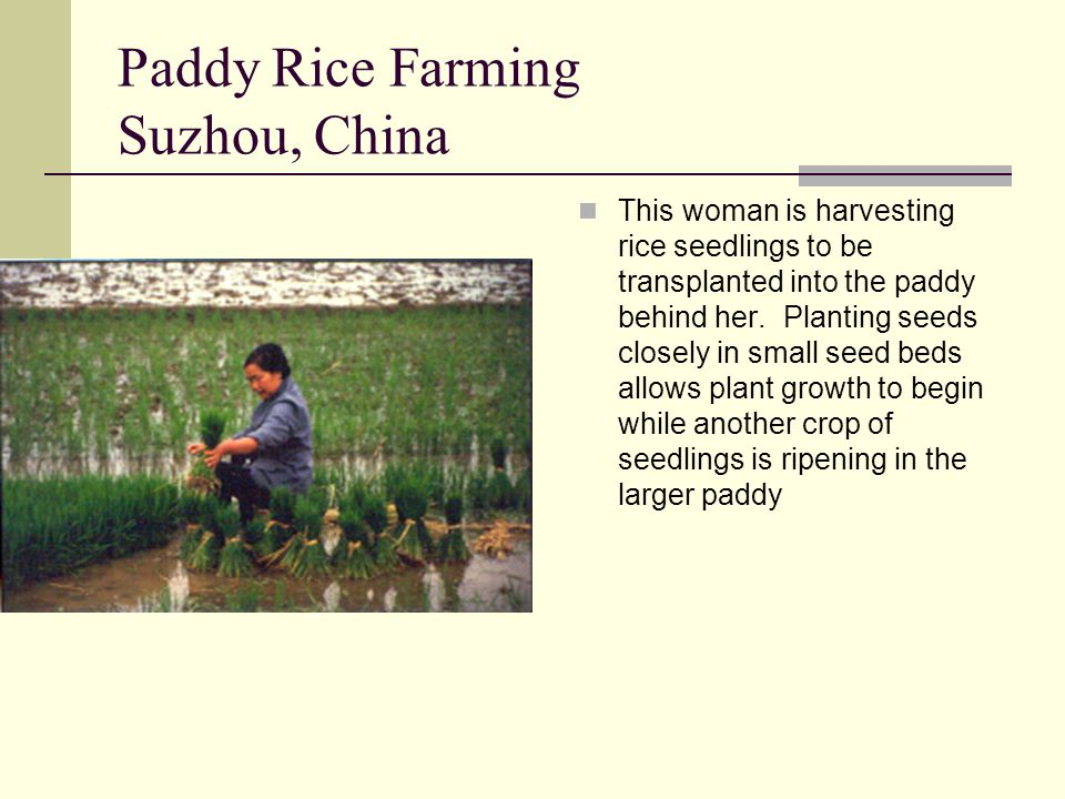 Paddy Rice Farming Suzhou, China This woman is harvesting rice seedlings to be transplanted into the paddy behind her. Planting seeds closely in small