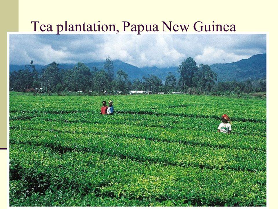 Tea plantation, Papua New Guinea