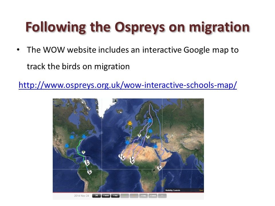 Following the Ospreys on migration The WOW website includes an interactive Google map to track the birds on migration http://www.ospreys.org.uk/wow-in