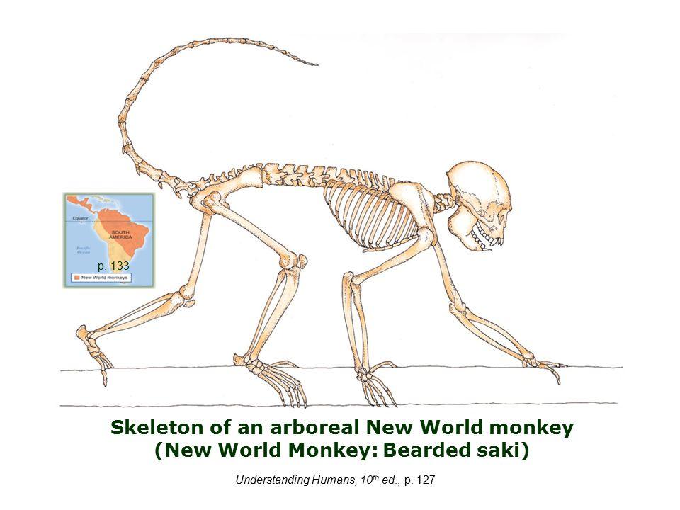 Skeleton of an arboreal New World monkey (New World Monkey: Bearded saki) Understanding Humans, 10 th ed., p.