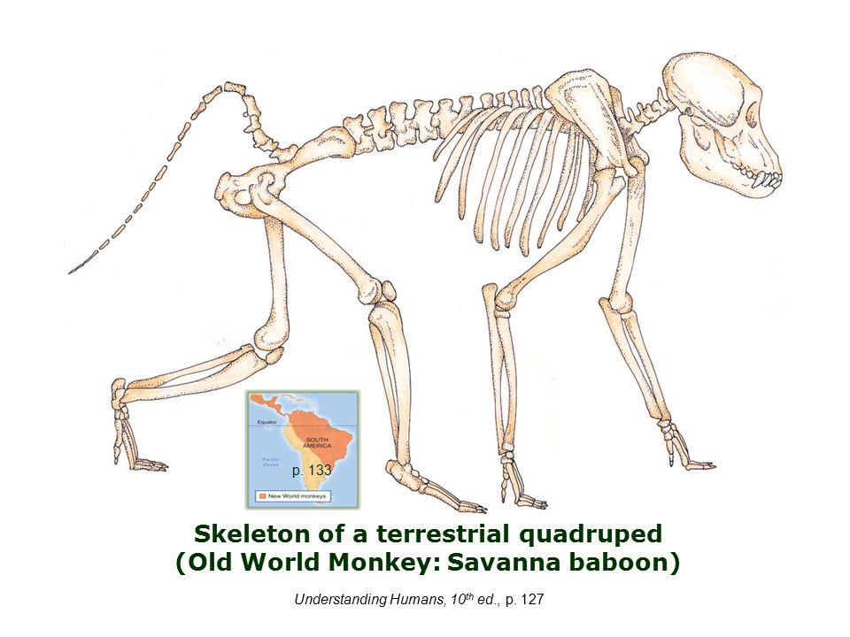 Skeleton of a terrestrial quadruped (Old World Monkey: Savanna baboon) Understanding Humans, 10 th ed., p.