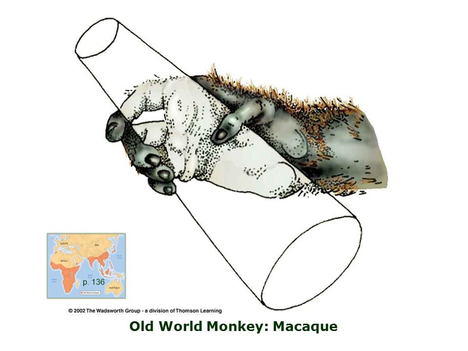 Old World Monkey: Macaque p. 136