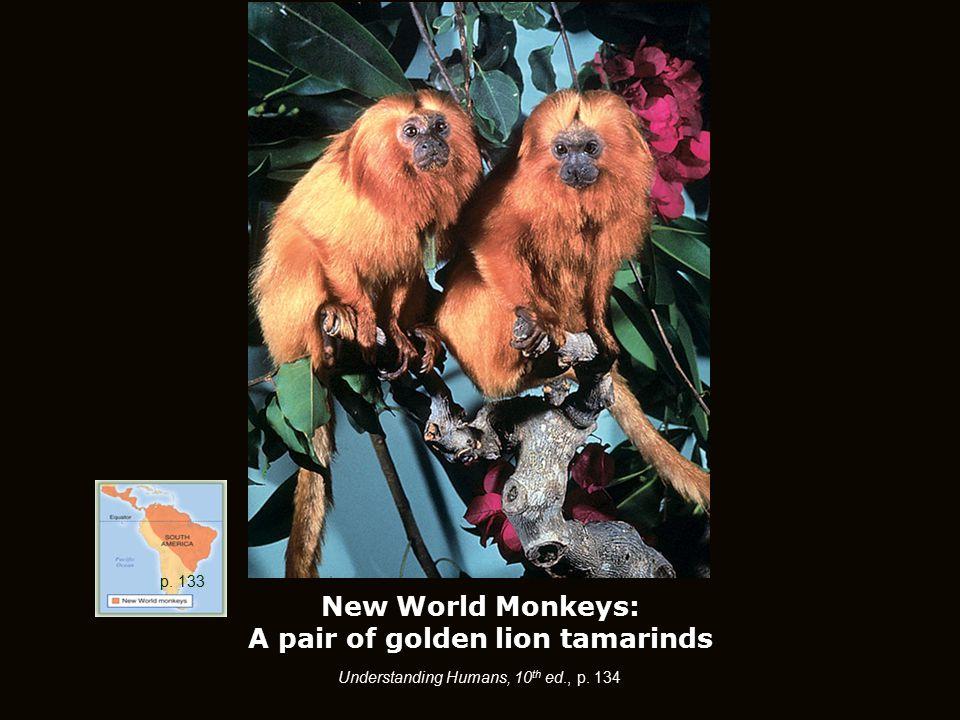 New World Monkeys: A pair of golden lion tamarinds p. 133 Understanding Humans, 10 th ed., p. 134