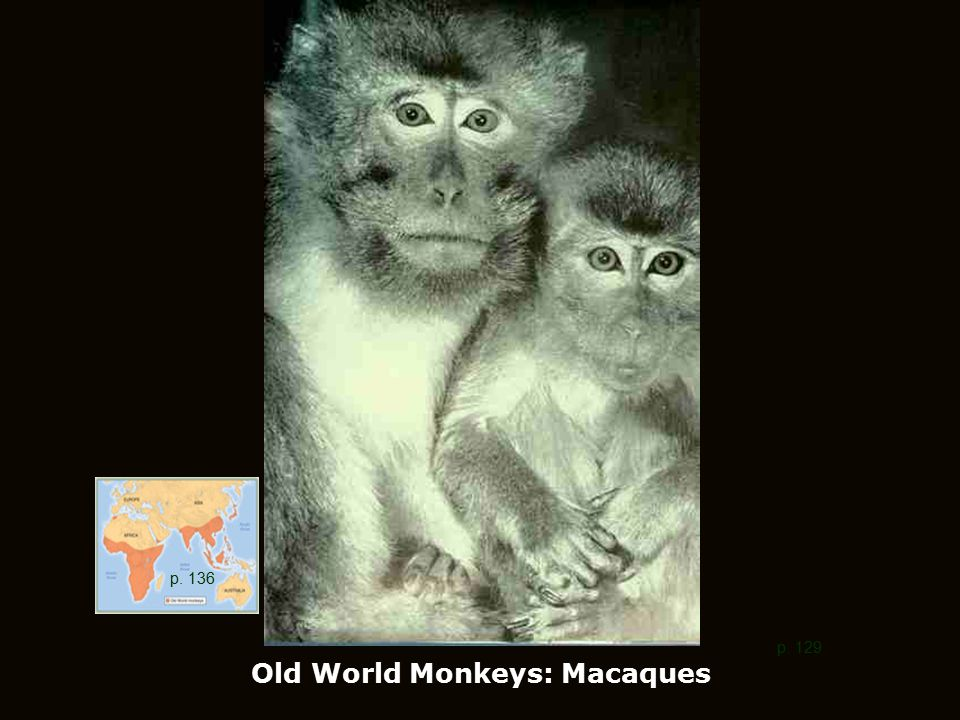 Old World Monkeys: Macaques p. 129 p. 136