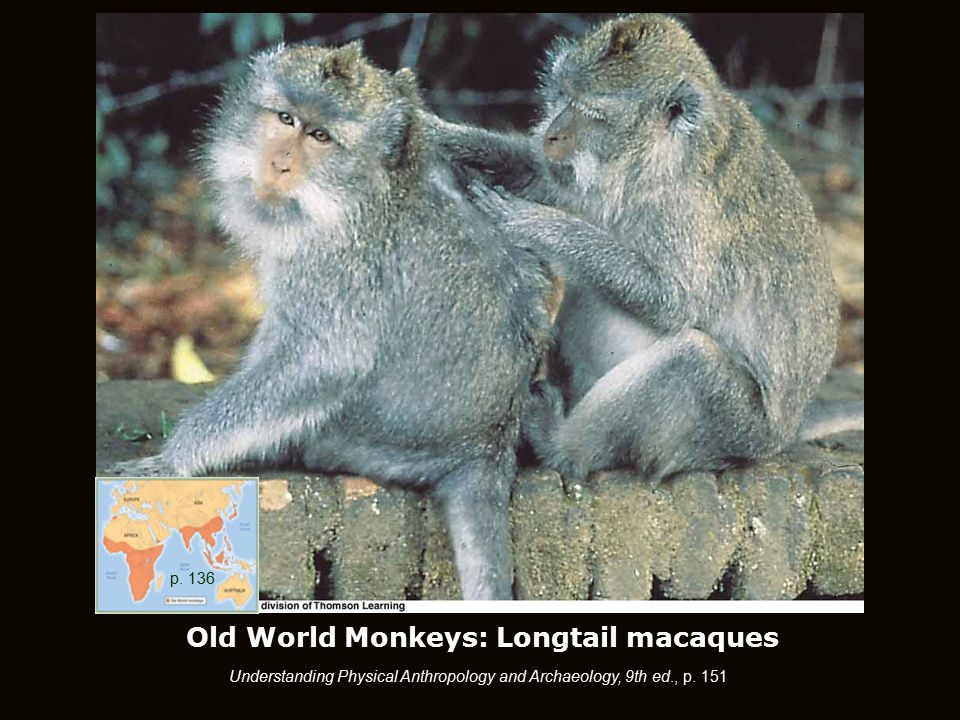 Old World Monkeys: Longtail macaques Understanding Physical Anthropology and Archaeology, 9th ed., p.
