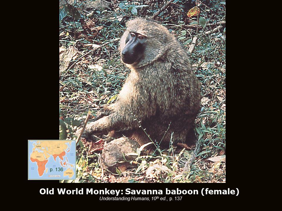 Old World Monkey: Savanna baboon (female) Understanding Humans, 10 th ed., p. 137 p. 136